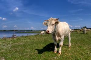 Southwold cow